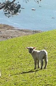 Spot the Lamb at Mahurangi West