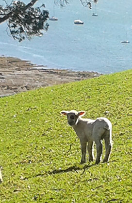 Spot the Lamb at Mahurangi West