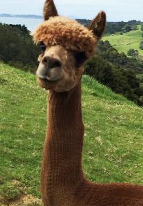 alpaca_hair-Cut