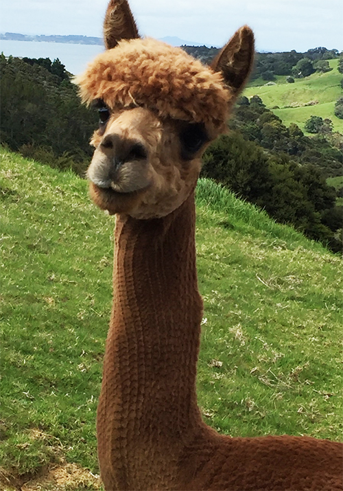 alpaca_hair-Cut