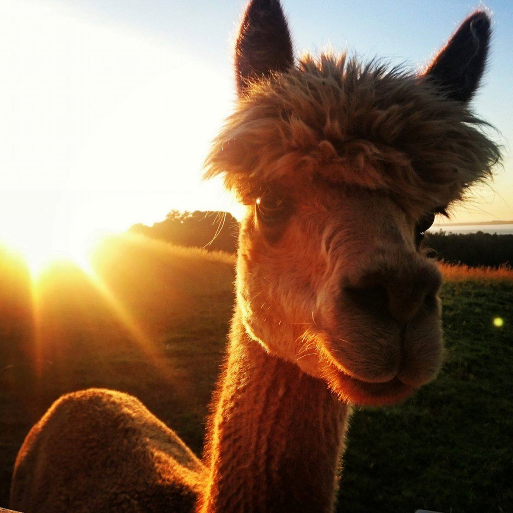 alpaca-at-sunrise