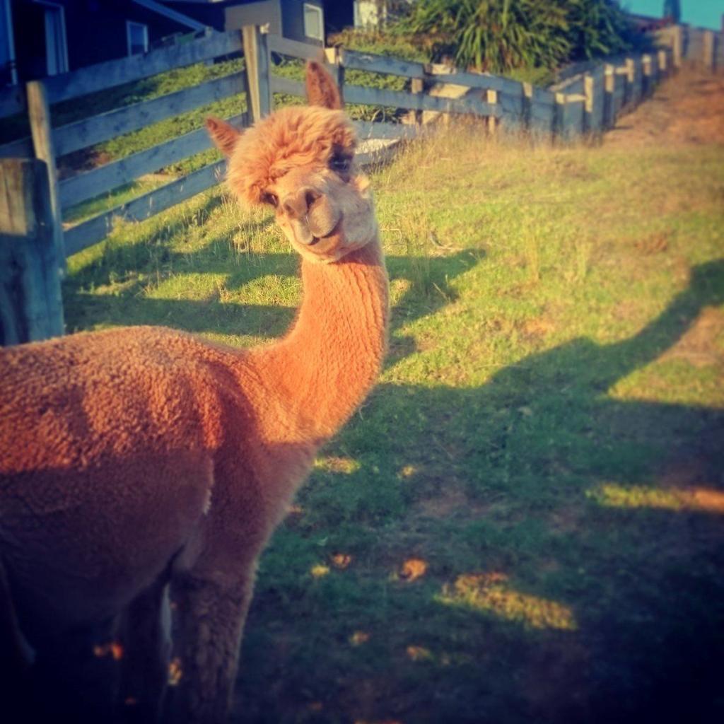 calling alpacas
